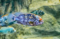 银鱼水下在Loro Parque,特内里费岛,加那利群岛 图库摄影