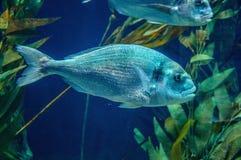 银鱼水下在Loro Parque,特内里费岛,加那利群岛 库存图片