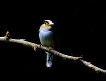 银breasted Broadbill鸟 免版税库存照片