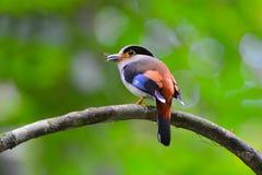 银breasted Broadbill鸟 免版税图库摄影