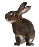 铸工兔子rex 免版税库存照片