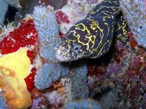 链节海鳗 库存照片