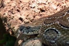 链蛇蝎 库存照片