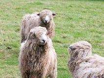 锁在农田的绵羊眼睛 图库摄影