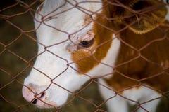 锁着的小牛 免版税库存图片