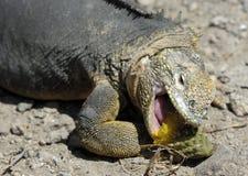 锋利的膳食 吃仙人掌的土地鬣鳞蜥 加拉帕戈斯土地鬣鳞蜥(Conolophus subcristatus) 库存照片