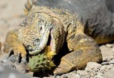 锋利的膳食 吃仙人掌的土地鬣鳞蜥 加拉帕戈斯土地鬣鳞蜥(Conolophus subcristatus) 免版税库存照片