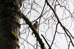 锐利走路了在分支栖息的鹰 库存图片