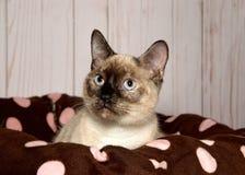 锐化在与桃红色圆点的一张棕色全部赌注床外面的暹罗小猫的画象 免版税库存图片