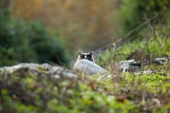 锐化在岩石后的猫 免版税库存图片