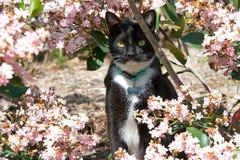 锐化在桃红色用花装饰的灌木外面的无尾礼服猫 免版税库存图片