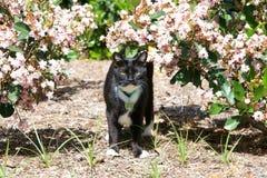 锐化在桃红色用花装饰的灌木外面的无尾礼服猫 库存图片