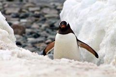 锐化从一小snowbank的后面Gentoo企鹅 免版税库存照片