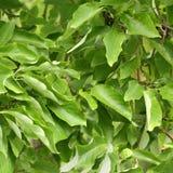 锐叶木兰树,木兰acuminata的叶子 免版税库存照片