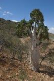 锐叶木兰树(dendrosicyos socotranum) 库存照片