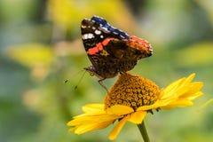 错误向日葵的红蛱蝶蝴蝶 免版税图库摄影