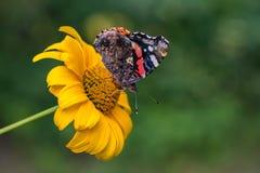 错误向日葵的红蛱蝶蝴蝶 免版税库存图片