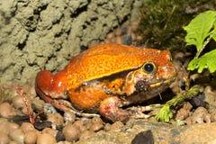 错误蕃茄青蛙, Dyscophus guyneti 库存照片