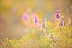 错误紫色蓟(Leavenworths刺芹) 图库摄影