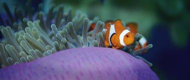 错误anemonefish或Clownfish,双锯鱼ocellaris,在银莲花属掩藏 股票视频