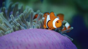 错误anemonefish或Clownfish,双锯鱼ocellaris,在银莲花属掩藏 影视素材