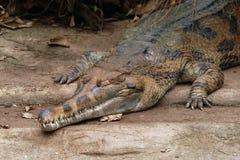 错误gavial (马来鳄鱼类schlegelii) 免版税库存图片