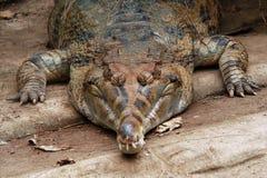 错误gavial 免版税库存图片