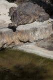 错误gavialwith横渡的下颌 库存图片