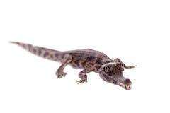 错误gharial,马来鳄鱼类schlegelii,在白色 免版税库存照片