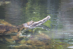 错误gharial,马来鳄鱼类schlegelii,水 免版税库存照片