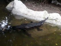 错误gharial 库存图片