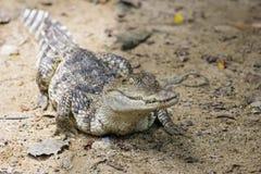 错误gharial 免版税库存图片