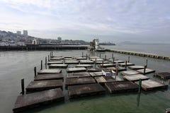 错过码头圣海运的39头弗朗西斯科狮子 免版税图库摄影