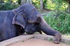 从锡兰的海岛的大象 免版税库存图片