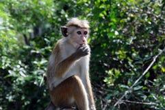 从锡兰的海岛的猴子 免版税库存图片