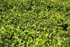 锡兰茶年轻叶子  库存照片