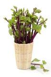 锡兰菠菜,东印度人菠菜,马拉巴尔茄属植物(落葵Linn。(巴塞利亚rubra Linn。)。 免版税库存照片