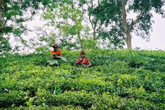 锡尔赫特市的,孟加拉国茶园 免版税图库摄影