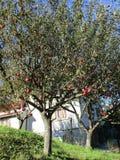 从锡纳亚手段的苹果树剪影在罗马尼亚 免版税图库摄影
