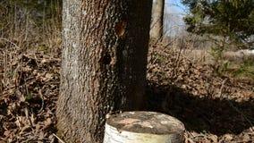 锤击在春天树汁的槭树木轻拍 影视素材