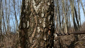 锤击在树汁的桦树树干木轻拍 股票视频