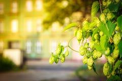 锥体和叶子背景绿色灌木跳跃 库存图片