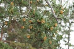 锥体和杉木针的芽在分支 免版税库存图片