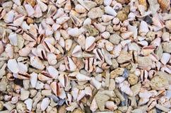 锥体壳和停止的珊瑚 免版税库存图片