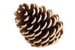 锥体杉木唯一结构树 免版税库存图片