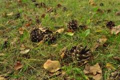 锥体烘干在草的黄色和桔子叶子在森林特写镜头 免版税图库摄影