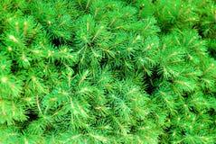 锥体绿色针杉树 免版税库存图片