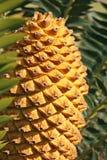 锥体苏铁科的植物 免版税库存图片
