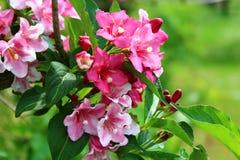 锦带花在庭院里 库存图片