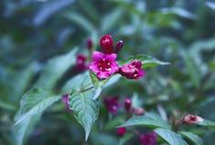 锦带花杂种灌木植物 免版税库存图片